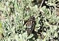 Sagebrush cicada (Okanagana luteobasalis) on Seedskadee National Wildlife Refuge (35369967536).jpg