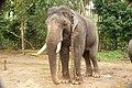 Sakrebailu elephant camp 5.jpg