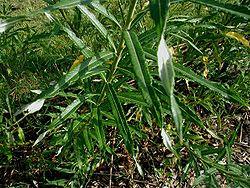 Salix-viminalis.JPG