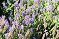 Salvia nemorosa - Giardino d'Europa De Gasperi.jpg