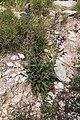 Salvia verbenaca-Sauge à feuille de verveine-20160417.jpg