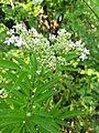 Sambucus ebulus, Adoxaceae 04.jpg
