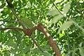 Sambucus nigra canadensis Bipinnata 0zz.jpg