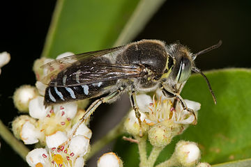 Bembicinae