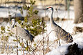 Sandhill Cranes in Tall Grass and Snow (12727211495).jpg