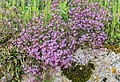 Saponaria ocymoides in Aveyron 02.jpg