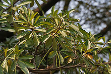 Saptaparni (Alstonia scholaris) leaves & fruit in Kolkata W IMG 3403.jpg