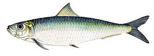 Resultado de imagen de sardina