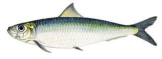 The European pilchard (Sardina pilchardus)