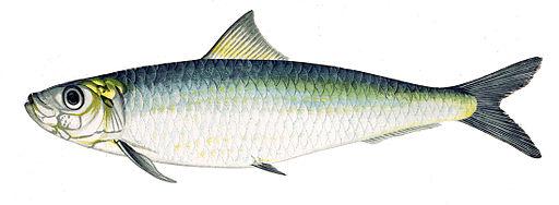 Sardina pilchardus Gervais