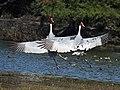 Sarus Crane I IMG 8631.jpg