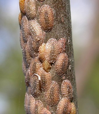 A cluster of scale insects on a stem