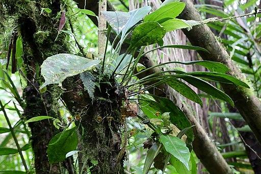 Scaphosepalum beluosum (Orchidaceae) (30497672645)