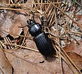 Scarabaeoidea, Passalidae. Horned Passalus (Odontotaenius disjunctus) Bess Beetle (38390093962).jpg