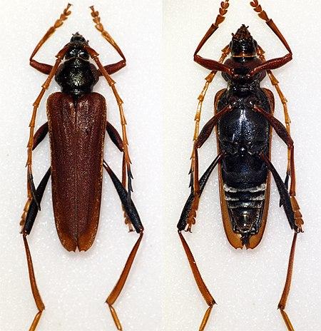 Schmidtiana spinicollis