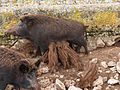 SchweineBeiSágana.jpg