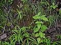 Sclerocarpus africanus Jacq. (7987660071).jpg
