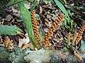 Scleropyrum pentandrum flowers 04.JPG