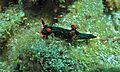 Sea Slug (Nembrotha kubaryana) (6059709572).jpg