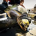 Sea Turtle Rescue (24066124165).jpg