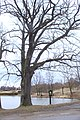 Sedlce, památný strom.jpg