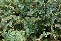 Selaginella uncinata 3zz.jpg