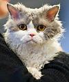 Selkirk rex longhair FINTICAt cat show Helsinki 2013-11-23.JPG