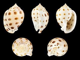 <i>Semicassis bisulcata</i> Species of gastropod