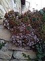 Sempervivum tectorum sobre muro.jpg