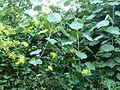 Senecio tamoides & Hibiscus tiliaceus, Umhlanga-strandmeer NR, b.jpg