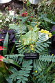 Senna didymobotrya (Cassia didymobotrya) - Bloedel Floral Conservatory, Queen Elizabeth Park - Vancouver, Canada - DSC07529.JPG