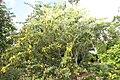 Senna polyphylla 20zz.jpg
