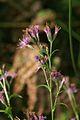 Serratula tinctortia PID1191-3.jpg