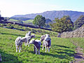 Sheep near Penny Hill Farm - geograph.org.uk - 266161.jpg