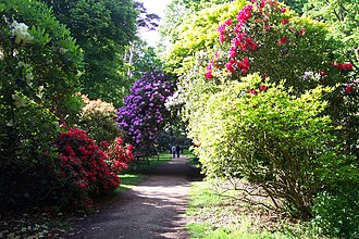 Shrub - A rhododendron shrubbery in Sheringham Park
