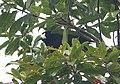 Short-tailed Paradigalla (2905493828) (cropped).jpg