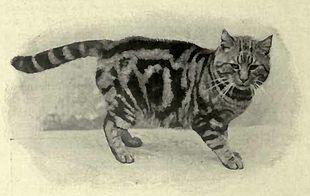 British Shorthair Wikipedia