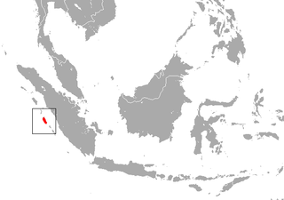 Siberut macaque Species of Old World monkey