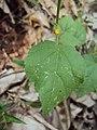 Sida cordifolia 06.JPG
