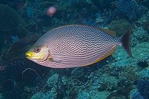 Rabbitfish - ''S. javus'' (Streaked spinefoot), a relative of the foxfaces
