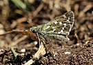 Silver-spotted skipper butterfly (Hesperia comma) female underside.jpg