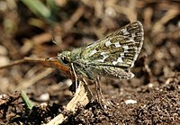 Silver-spotted skipper butterfly (Hesperia comma) female underside.jpg
