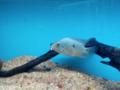 Silver blue fish bangalore aquarium, india.png