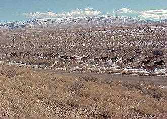 Bureau of Land Management - Horses crossing a plain near the Simpson Park Wilderness Study Area in central Nevada, managed by the Battle Mountain BLM Field Office