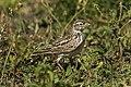 Singing Bushlark - Tanzania 0143 (16325062104).jpg