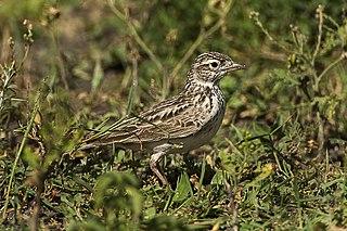 Singing bush lark species of bird