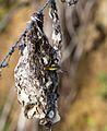Sitting sunbird (11561253623).jpg