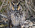 Sleepy Long-eared Owl (28045685659).jpg