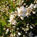 Slender Deutzia - Flickr - treegrow.jpg