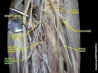 Anterior interosseous artery - Image: Slide 12PPPP